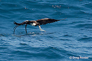 frigate bird, Fregata sp., snatches a Spanish sardine (aka gilt sardine, pilchard, or round sardinella ), Sardinella aurita, out of a bait ball, off Yucatan Peninsula, Mexico ( Caribbean Sea )