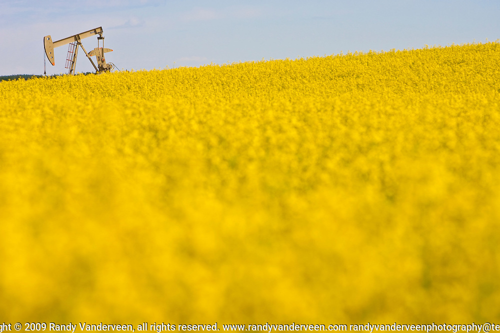 Photo Randy Vanderveen.north of Debolt, Alberta.A  pump jack works in a canola field in full bloom southwest of Falher, Alberta. The oil seed crop should be able to take advantage of some of the recent rains which fell on the Peace Country the past two weeks. Hot weather is expected this week which should also benefit crops.