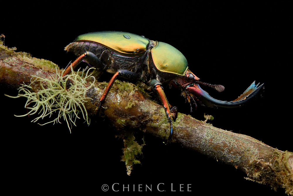 Stag beetle (Neolamprima adolphinae), male. West Papua, Indonesia.