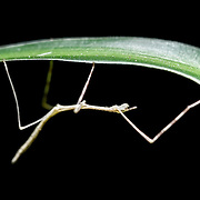 A 2cm juvenile stick insect (Ramulus irregulariterdentatus) hanging upside-down under a leaf. This stick insect was missing two of its six limbs.