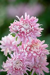Chrysanthemum 'Allouise Pink'