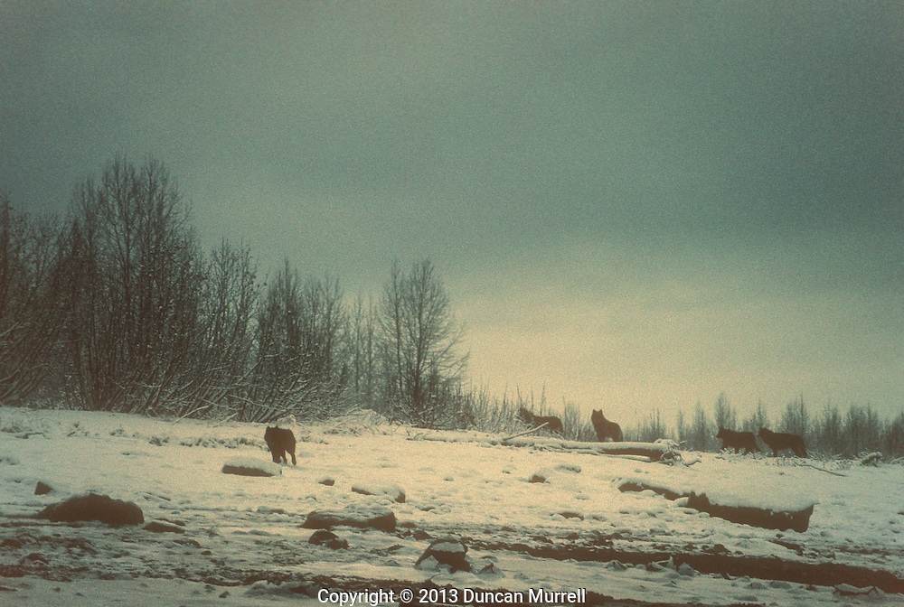 A pack of wolves (Canis lupis) on an island in Adam's Inlet, Glacier Bay National Park and Preserve, Southeast Alaska, USA.<br /> <br /> Two subspecies of wolves are currently recognized in Alaska; wolves in Southeast Alaska tend to be darker and somewhat smaller than those in northern parts of the state. Wolves are social animals and usually live in packs that include parents and pups of the year. The average pack size is six or seven animals, and pack members often include some yearlings and other adults. Packs of 20 to 30 wolves sometimes occur, and these larger packs may have two or three litters of pups from more than one female.<br /> The social order in the pack is characterized by a separate dominance hierarchy among females and males. In most areas wolf packs tend to remain within a territory used almost exclusively by pack members, with only occasional overlap in the ranges of neighboring packs.<br /> This was my first close encounter with a pack of wolves in Southeast Alaska. They are generally hard to see because most of their range is densely forested but the landscape is much more open in Glacier Bay. I was paddling around this island in the middle of winter when I heard some wolves howling. Around the next bend I encountered a pair of cow moose out in the water protecting themselves from a frustrated pack of wolves howling on the shore. I just sat motionless in my kayak and eventually one of the wolves trotted down the frozen beach and stood right in front of me for a few seconds before returning to the rest of the pack. It was a thrilling experience to look a wolf in the eyes at such close quarters.
