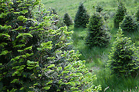A Christmas tree farm has Douglas Fir trees growing in a neat row during the summer months.
