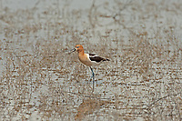 An American Avocet communicating with other Avocets that is farther down the marsh pond.