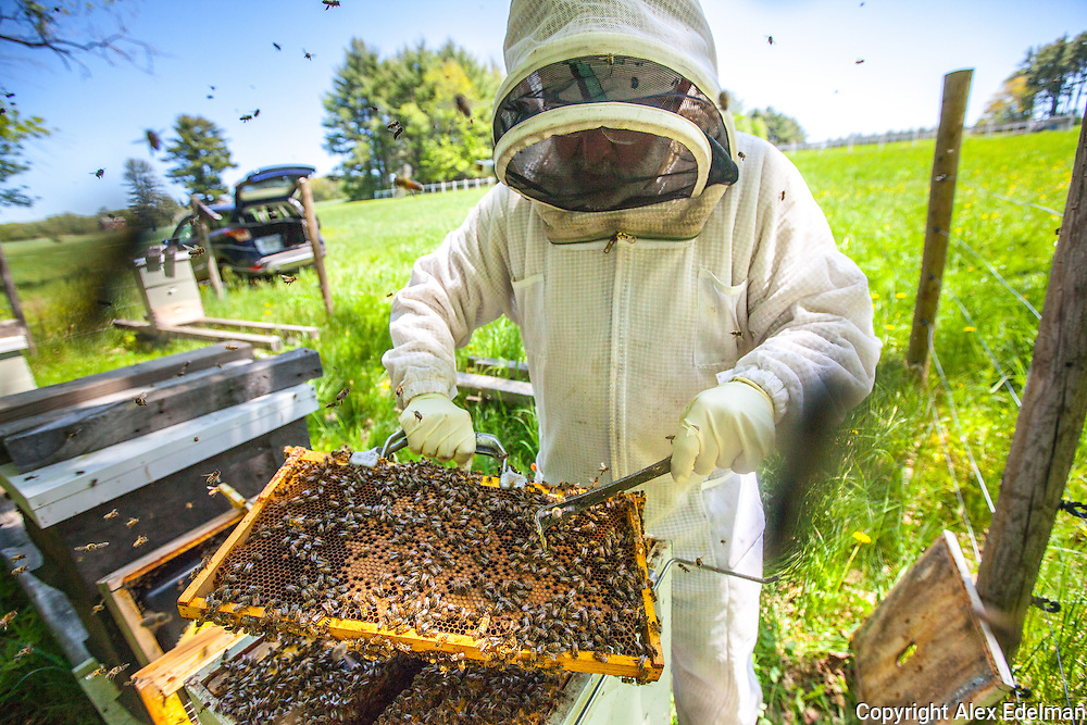Beekeeper Mark Schifrin checks the condition of one of his hives in New Hampshire.