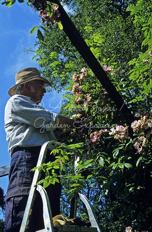 Gardener, man, sun hat, climbing rose, pruning, dead heading, flowers, pink, pergola, stepladder