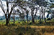 Lerai Forest Ngorongoro Crater,Tanzania
