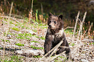 Young Grizzly Cub of the Bridger Teton National Forest of of Wyoming
