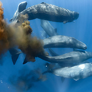 Pictured here are ten sperm whales (Physeter macrocephalus) that were swimming together, mixed in with a larger gathering of whales. I estimate there were between 50 and 100 individuals in total, though it is difficult to be certain given their continual movement and diving. A couple of the whales can be seen defecating, an activity that seems to be a normal part of social interaction at the surface. Sperm whales are also frequently flatulent, as can be seen here.
