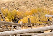 Common raven, (Corvus corax), grooming during rain shower, south of Ennis, Montana