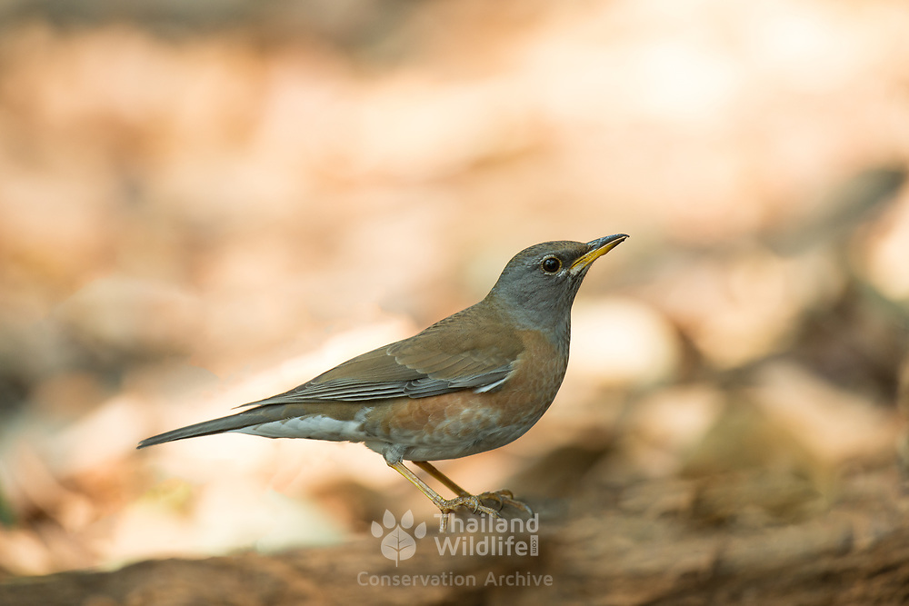 The eyebrowed thrush (Turdus obscurus) is a member of the thrush family Turdidae. This is a juvenile and does not show the characteristic eye brow marking.