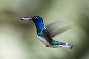 White-necked Jacobin (Florisuga mellivora)<br /> Mindo<br /> Cloud Forest<br /> West slope of Andes<br /> ECUADOR.  South America<br /> HABITAT & RANGE: Mexico south to Peru, Bolivia and south Brazil. It is also found on Tobago and in Trinidad
