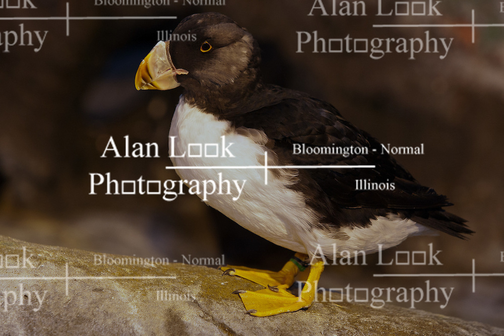 19 October 2010: Puffin. St. Louis Zoo, St. Louis Missouri (Photo by Alan Look)