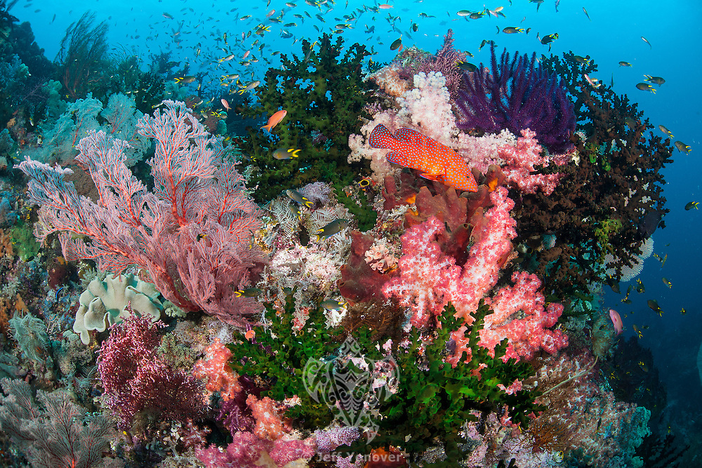 Healthy Corals and Grouper<br /> <br /> Shot in Indonesia