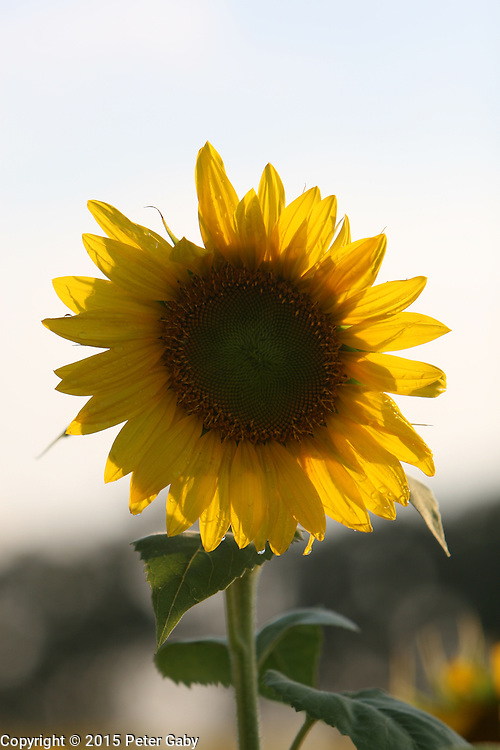 The Sunflowers have reached full bloom at Pope Farm Conservancy in Middleton,  WI. on  August 07, 2015.<br /> <br /> <br /> <br /> <br /> <br /> <br /> <br /> <br /> <br /> <br /> <br /> <br /> <br /> The Sunflowers have reached full bloom at Pope Farm Conservancy in Middleton,  WI. on  August 07, 2015.