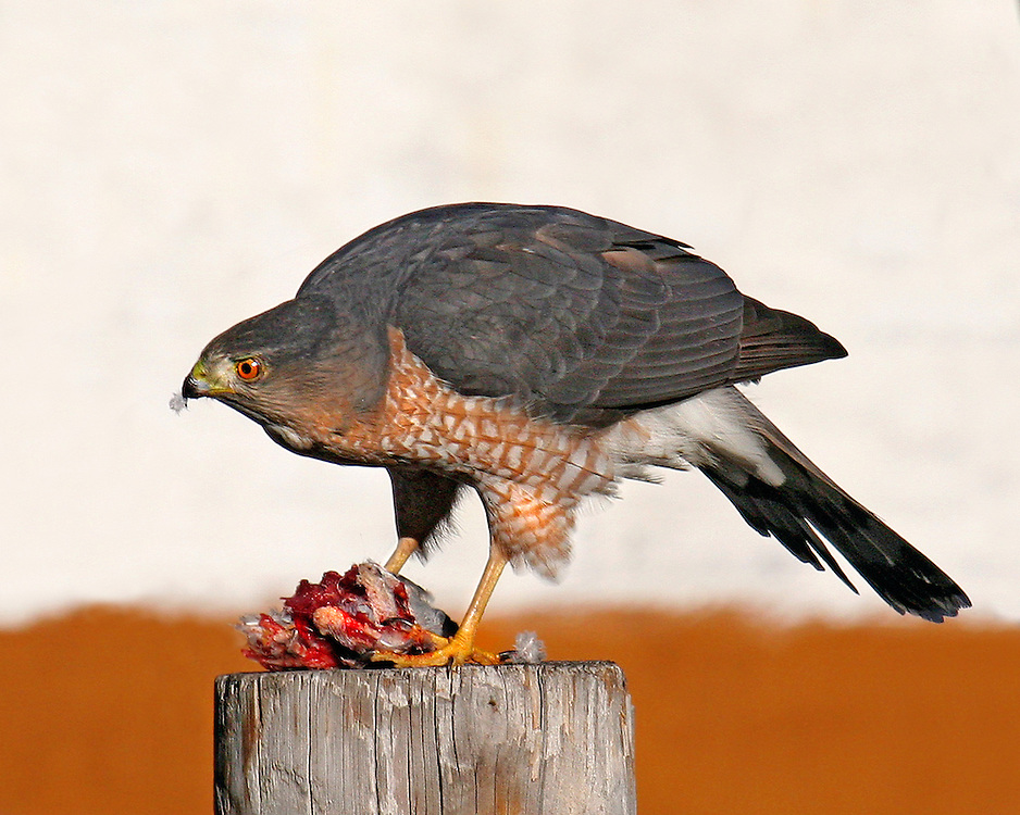 Snuck this one in. It's not from the park, which is two blocks away from me. It's taken from my rear window, and shows a Cooper's Hawk with what's left of an unfortunate pigeon. January, 2006.