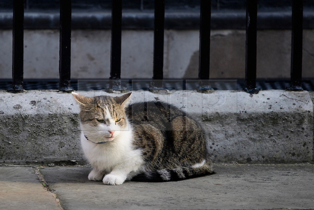 © Licensed to London News Pictures. 13/09/2016. London, UK.  LARRY the downing Street cat sits outside 10 Downing Street in London on September 13, 2016. Photo credit: Ben Cawthra/LNP