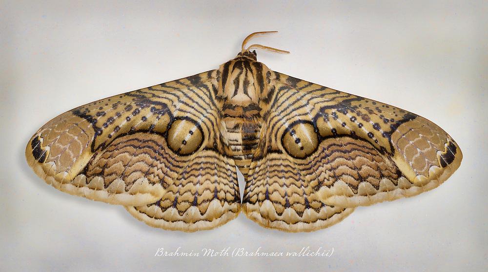 Brahmin Moth (Brahmaea wallichii) / #LPD115b