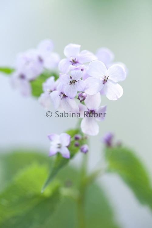 Lunaria rediviva - perennial honesty