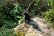 An American black bear cub walks along a rocky outcropping in the temperate rain forest at Anan Creek in the Tongass National Forest, Alaska. Anan Creek is one of the most prolific salmon runs in Alaska and dozens of black and brown bears gather yearly to feast on the spawning salmon.