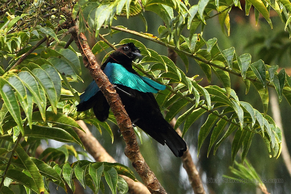 Superb Bird-of-paradise, Lophorina superba, Papua New Guinea, by Markus Lilje