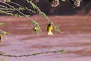 Kenya, Masai Mara, Masked weaver (Ploceus intermedius) near it's nest