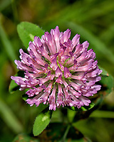 Pink clover wildflower. Late-spring backyard nature in New Jersey. Image taken with a Nikon D2xs camera and 105 mm f/2.8 VR macro lens  (ISO 100, 105 mm, f/11, 1/60 sec)