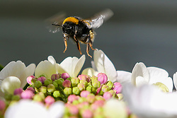 © Licensed to London News Pictures. 29/06/2020. London, UK. A bumblebee arrives on Hydrangea macrophylla Bodensee (white Mophead Hydrangea) to collects pollen.  Photo credit: Dinendra Haria/LNP