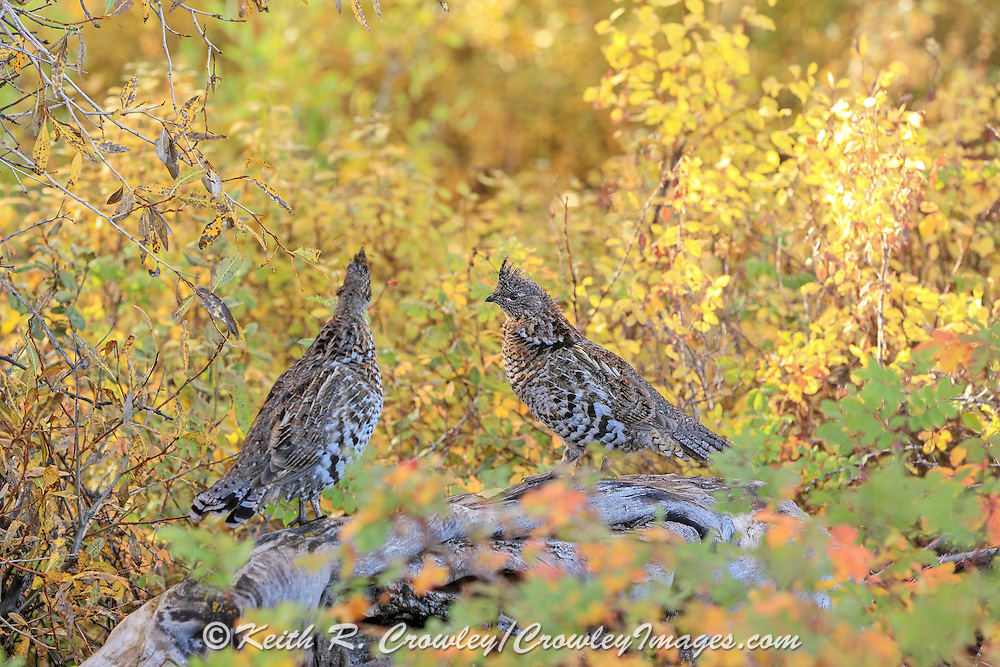 Two Ruffed Grouse perch on a fallen log in brilliant fall colors