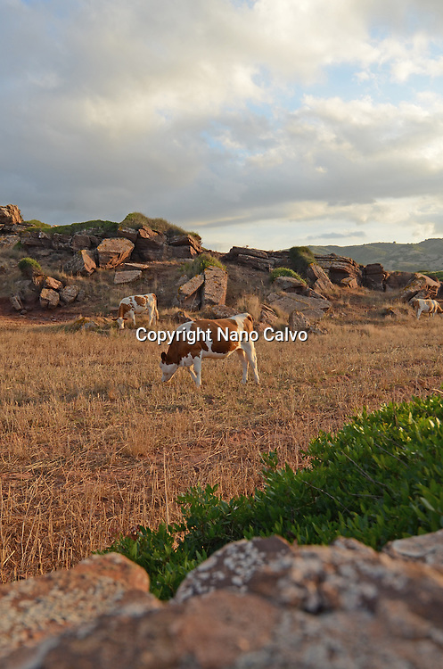 Cows at sunset, in the surroundings of Cala Pregonda, Menorca