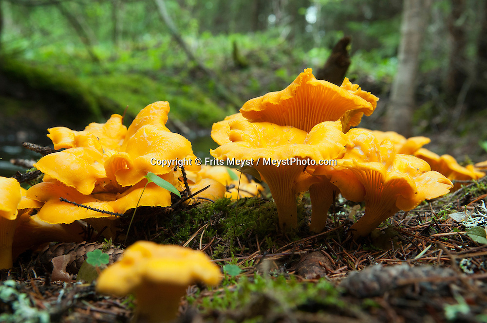 Angra, Hälsingland, Central Sweden, August 2013. Sonja harvests the chantarelle mushrooms in the forest. Camp Angra is a wilderness camping near Karbola owned by the Dutch Hassoldt family. Marco specialises as a wilderness guide and the camping offers Fishing and Flyfishing, Wildlifewatching, birding, outdoor fun, hiking, biking and canoeing, while Sonja runs the camping. The extensive forests dotted with hundreds of lakes of a spectacular landscape for wilderness camping. hike through the forests picking berries and collecting mushrooms, see moose and track bears and wolves. Navigate the lakes in a canoe and catch trout and salmon with a fly rod and see beavers.  Gavleborg and Dalarna regions are bursting with adventure. Photo by Frits Meyst/Adventure4ever.com
