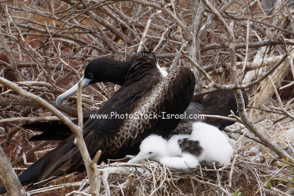 female Magnificent Frigatebird with chick in its nest (Fregata magnificens). Photographed in the Galapagos Island, Ecuador