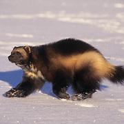 Wolverine, (Gulo gulo) Running. Winter. Rocky mountains. Montana.  Captive Animal.