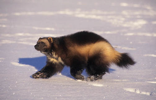 Wolverine, (Gulo gulo) Running. Winter. Rocky mountains. Montana.  Captive Animal.