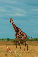 Giraffe and springbok, Nxai Pan National Park, Botswana.