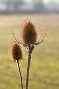 Teasel thistles, Gloucestershire, United Kingdom.