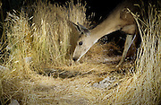 A black-tailed deer (Odocoileus hemionus) makes a nocturnal visit to an artificial guzzler in the desert of southern Oregon.