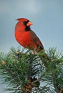 Northern Cardinal, Cardinalis cardinalis, male, perched on Pine