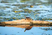 Turtle at LaPLatte River, Shelburne, Vermont.