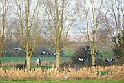 Group of Cranes, Grus grus, large birds in flight above natural wetlands habitat in Somerset Levels marshes, UK