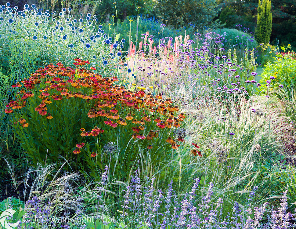 Herbaceous borders at Bluebell Cottage Gardens, Dutton, Cheshire, designed by Sue Beesley. Photographed in July. Planting includes Nepeta,  Verbena bonariensis,  Echinops ritro and Heleniums