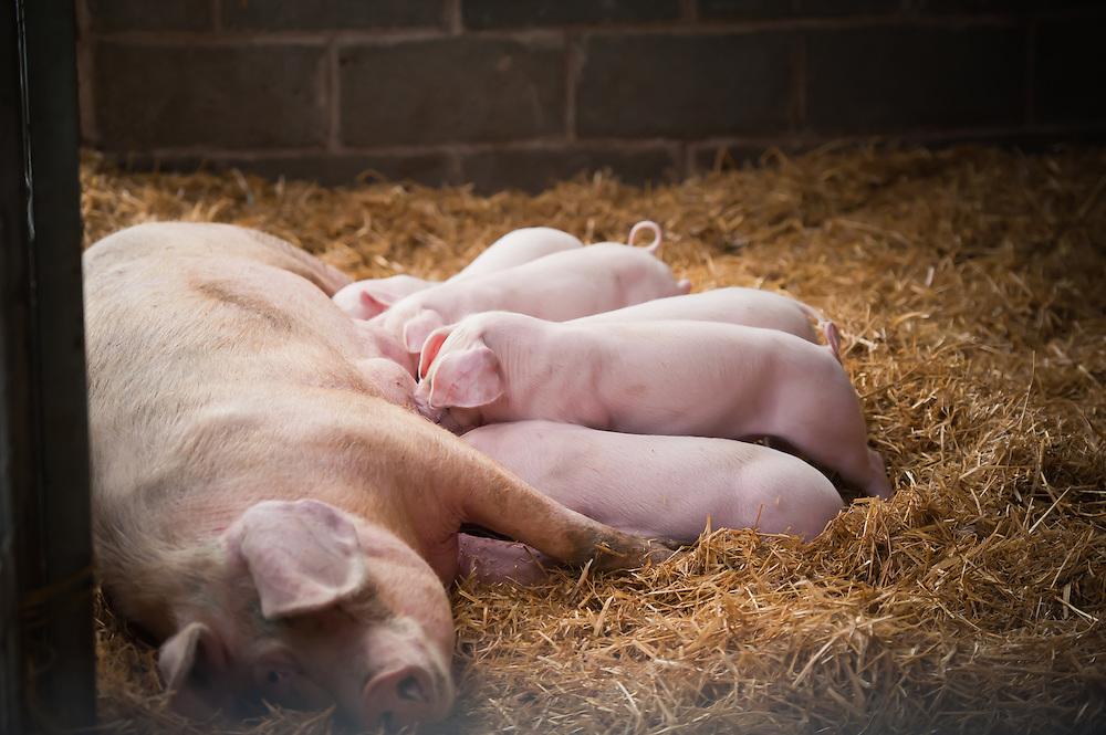 PR Photography in North Wales took pictures of piglets at Foel Farm Park in Anglesey for Yattar Yattar Magazine