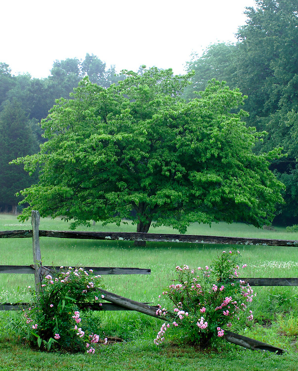 A CORNUS FLORIDA (DOGWOOD) AND SPLIT RAIL FENCE