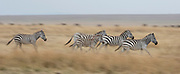 Plains zebras running towards Mara River, Kenya.
