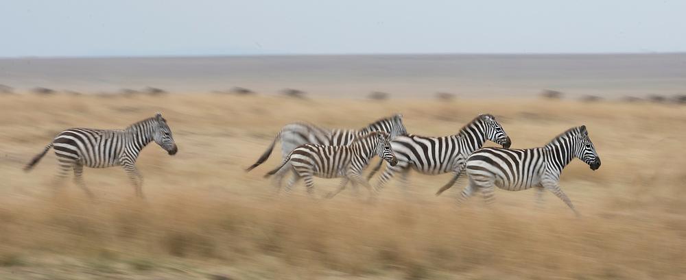 Plains zebras running towards Mara River, Kenya.