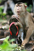 PARIAMAN, INDONESIA - <br /> <br /> A baby monkey heads out to explore the jungle - but is yanked back by its protective mother.<br /> <br />  A Pigtail monkey mother was keeping her baby 4 weeks old to hold his feet when his son away from her mother  in Pariaman, West Sumatra, Indonesia. The nature of a mother is also there in the pigtail monkey, affection shown by catching his foot away from the mother when this mother of pigtail monkey. This pigtail monkey belongs Samsudin who was 5 years old, according to Samsudin pigtail monkey mother was very angry with scratching and biting when a peoples approached her.<br /> ©Exclusivepix Media