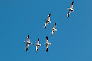 Middletown, New York - Snow geese fly over the lake at Fancher-Davidge Park on Feb. 4, 2017.