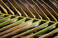 Detail and pattern of a fallen palm leaf.
