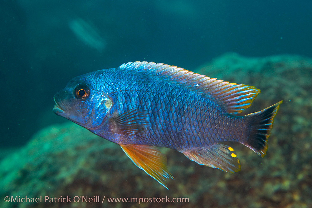 A male Petrotilapia sp. swims near the a rocky reef near Likoma Island, Lake Malawi, Africa.