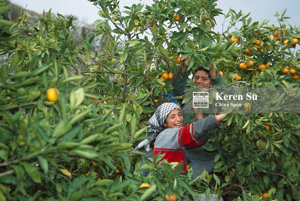 Farmers harvesting oranges, Ephesus, Turkey
